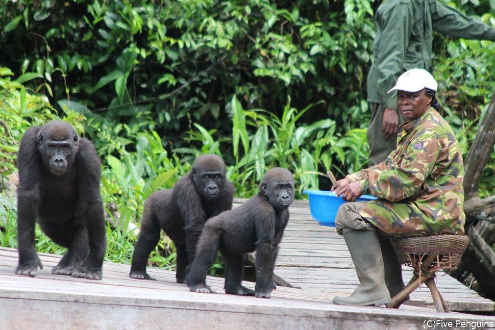ローランドゴリラの保護区(コンゴ共和国)
