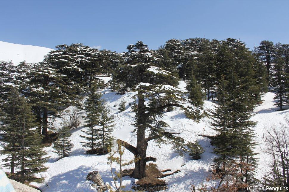 レバノン杉の群生地