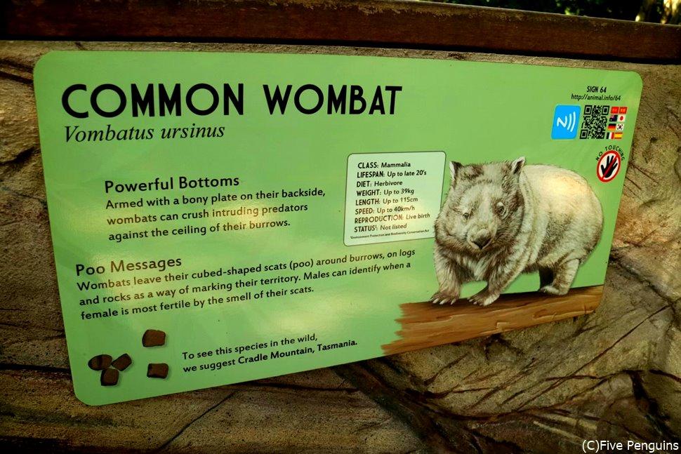 コアラの親戚、ウォンバット!昼間は寝ているかもしれません。。