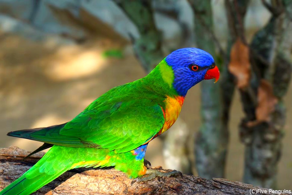 虹色の鳥、レインボーロリキートも野生で見られるかも!