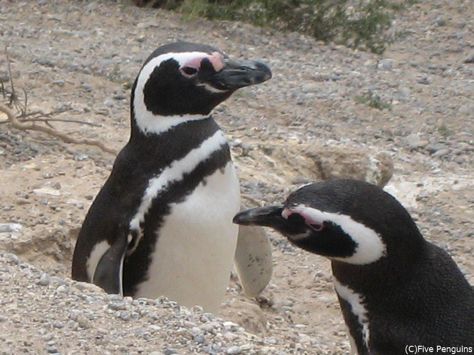 ペンギン<プンタカントール/バルデス半島>