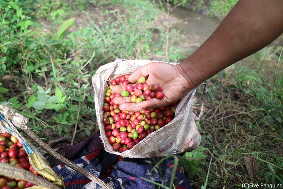 パプアニューギニアはコーヒーの名産地でもある