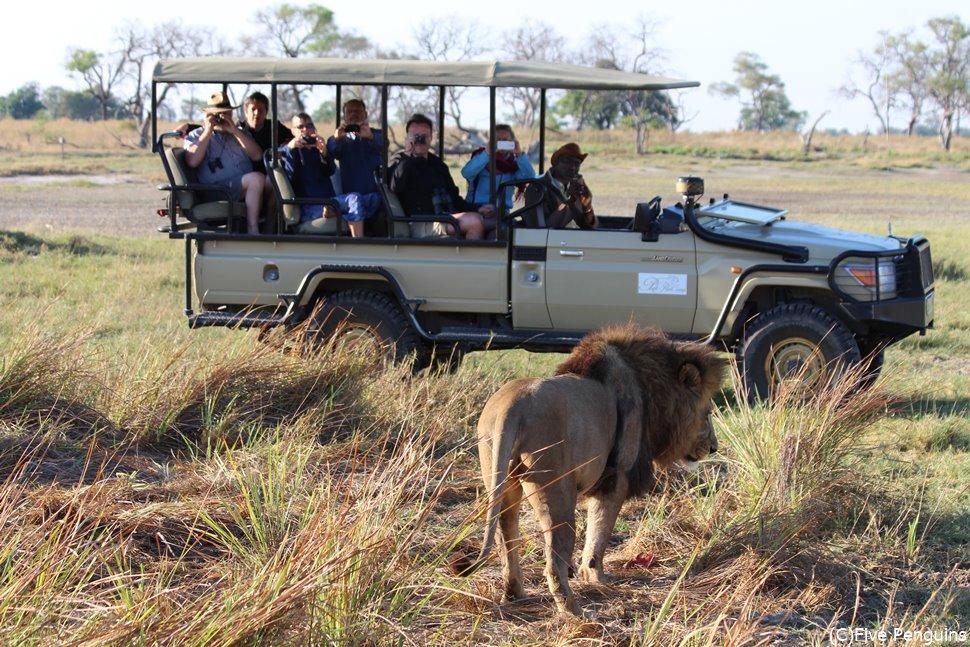オープンサファリカーに近付くライオン