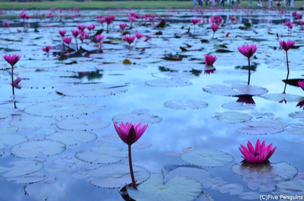 アンコールワット 朝にきれいに咲く睡蓮の花
