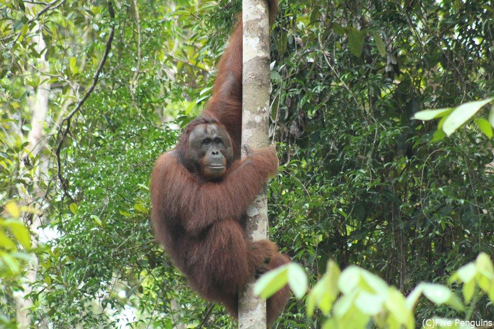 木に登ったまま様子をうかがうオランウータン