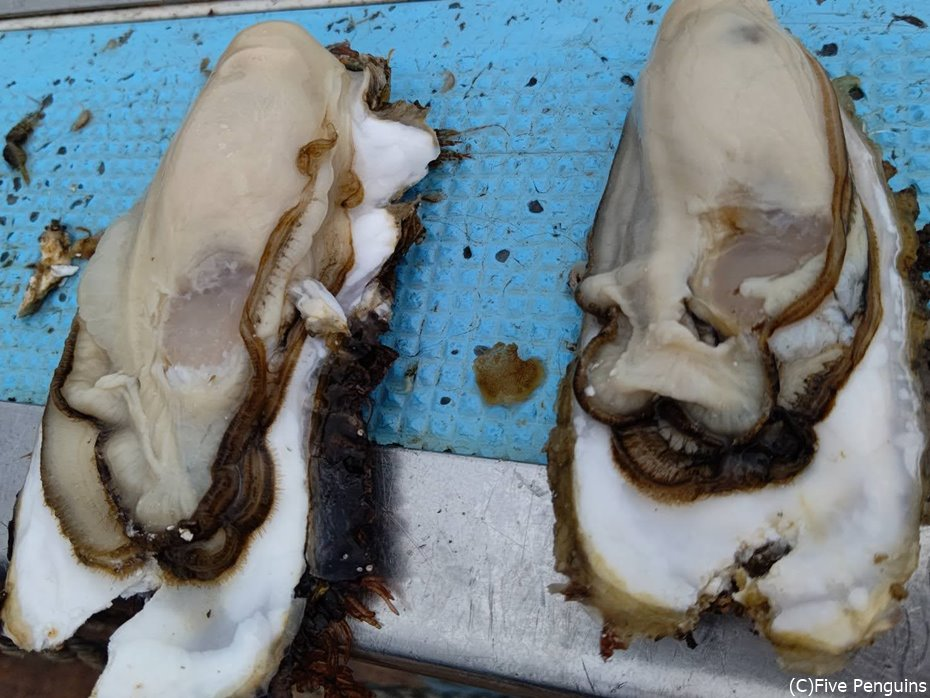 3年モノの牡蠣はすでにこんなに大ぶり