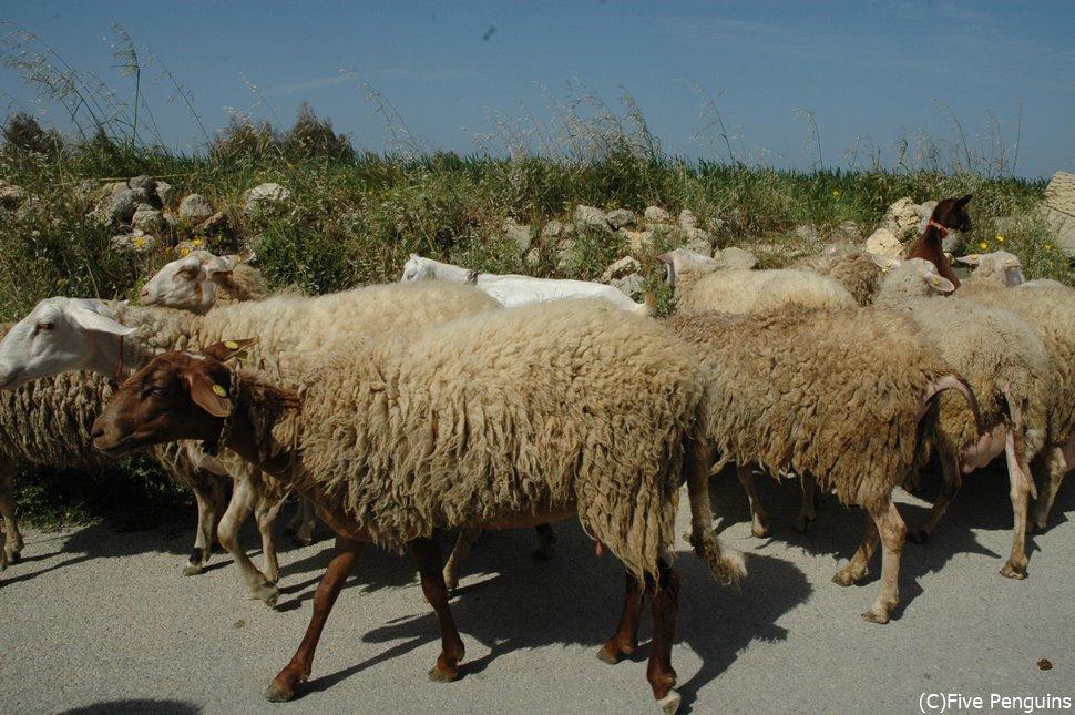 「メェ~」「メェ~」「人間は密になったらダメェ~」とマルタの密な羊たちが言ってます。