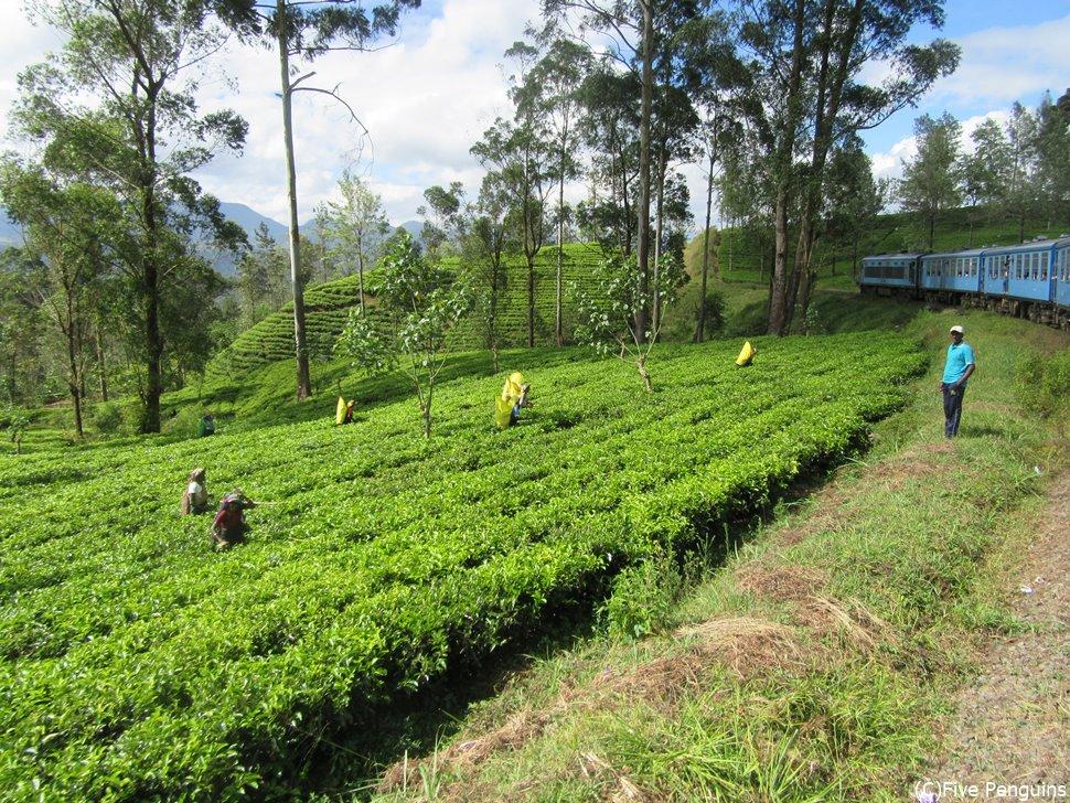 美しい茶畑を走る高原列車の旅!(ヌワラエリア)
