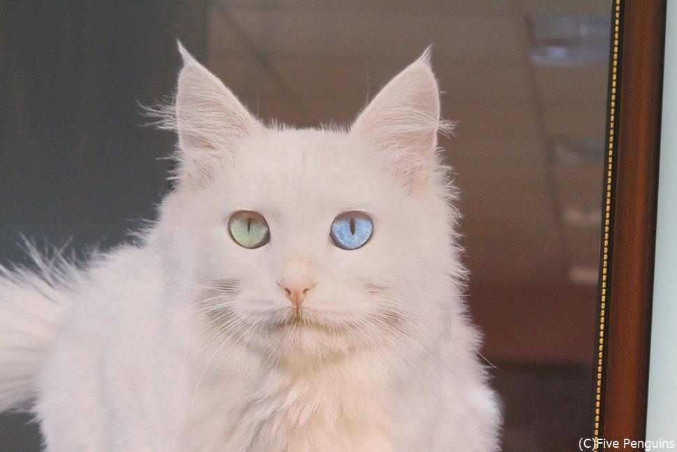 オッドアイのワン猫など、トルコは猫好きにもおすすめの旅行先。