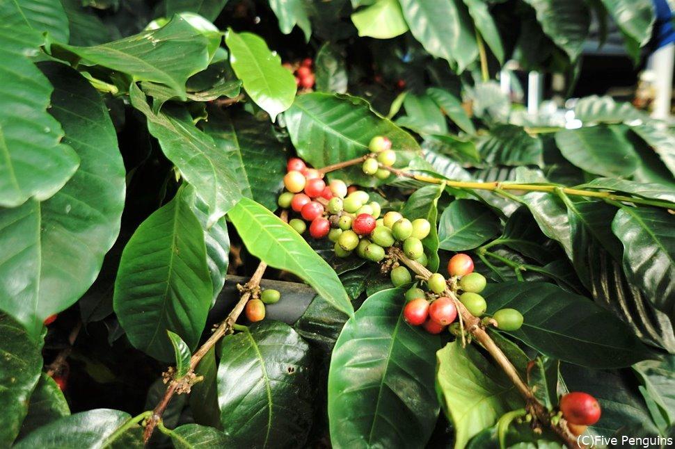 コナコーヒー農園(ハワイ島)