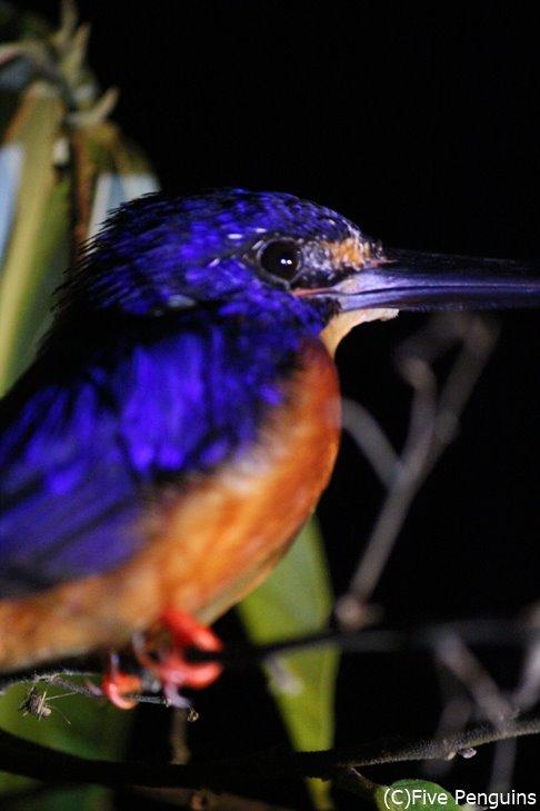 ボルネオ島で見つけた青い鳥。か、かわいい、、