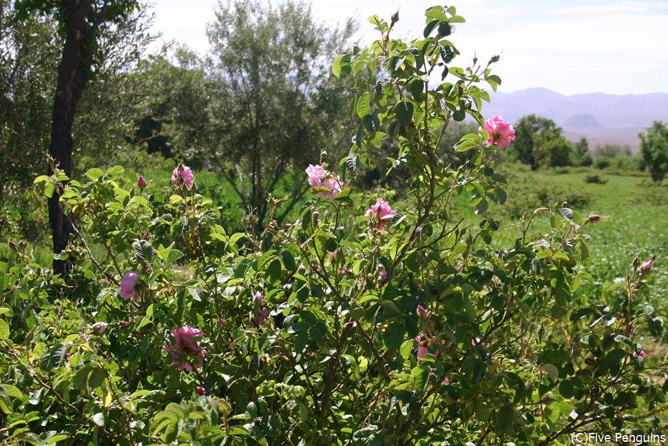 ダデス渓谷で咲き誇るバラは化粧品の原料としても用いられる。