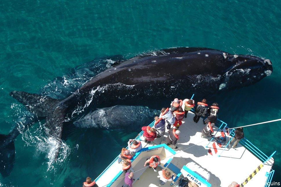 大きなミナミセミクジラ(バルデス半島)(バルデス半島)