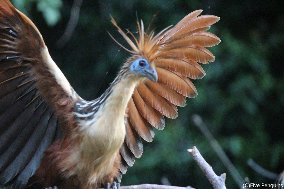 珍獣 まるで始祖鳥のような鳥 ツメバケイ(ルレナバケ近郊)
