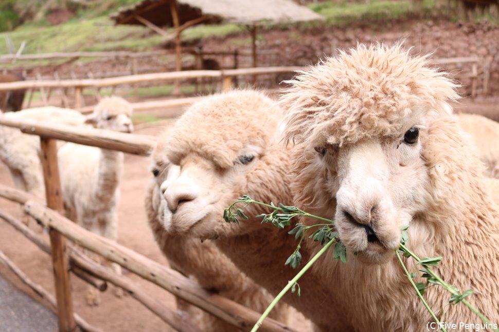 アルパカとリャマ牧場(アワナカンチャ/ペルー)