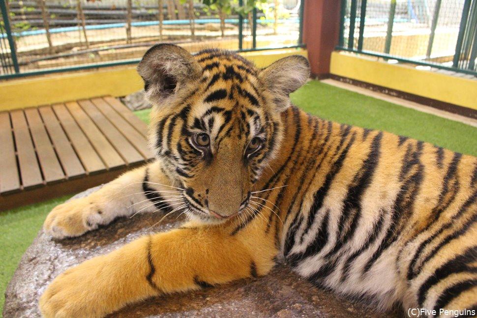 赤ちゃんトラとの触れ合いもできる!ネコ科動物の可愛さはもう…たまらん!