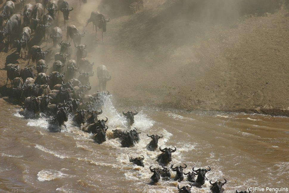 ヌーの川渡り!(マサイマラ動物保護区)