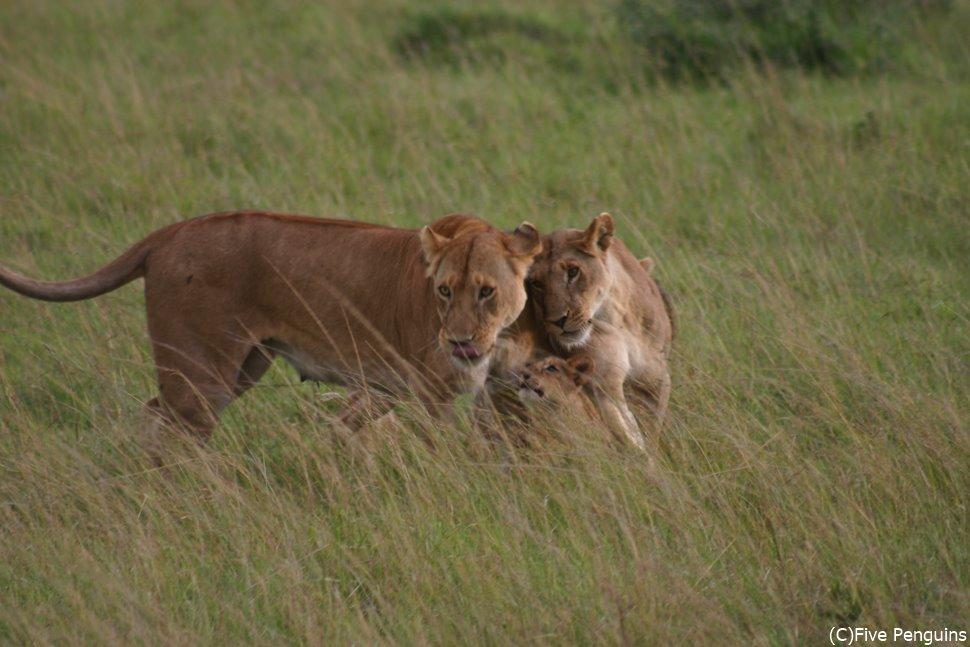 じゃれあうライオンの親子 (マサイマラ動物保護区)