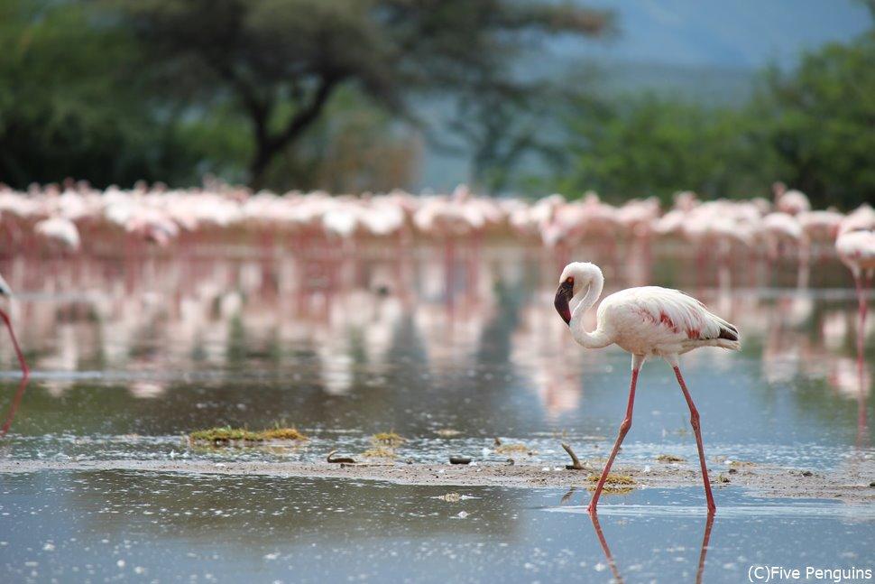 美しいフラミンゴ(ボゴリア湖)