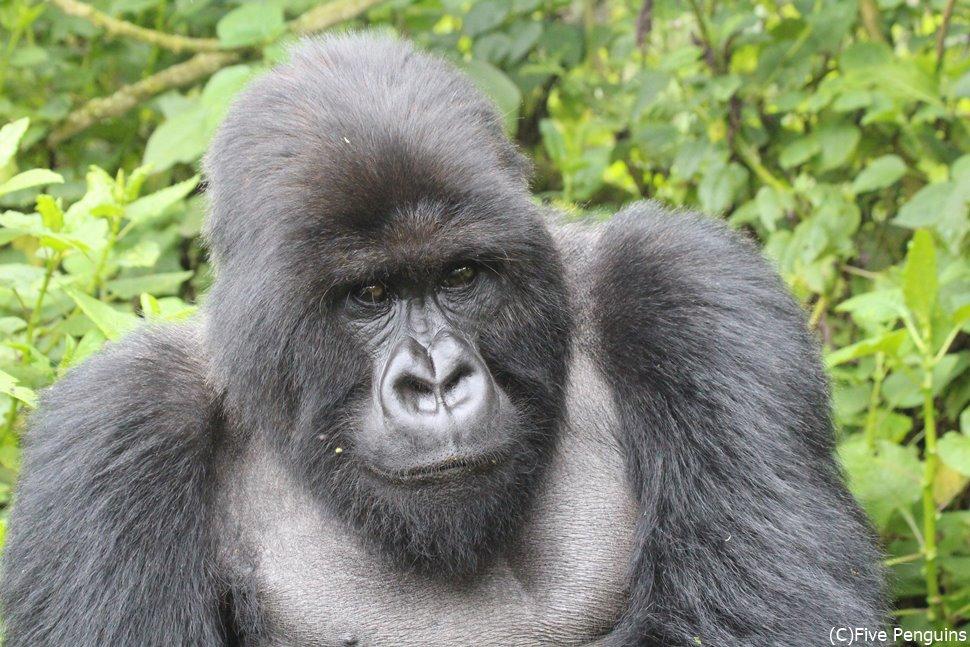 イケメンゴリラに会いに行きたい♪(ウガンダ)