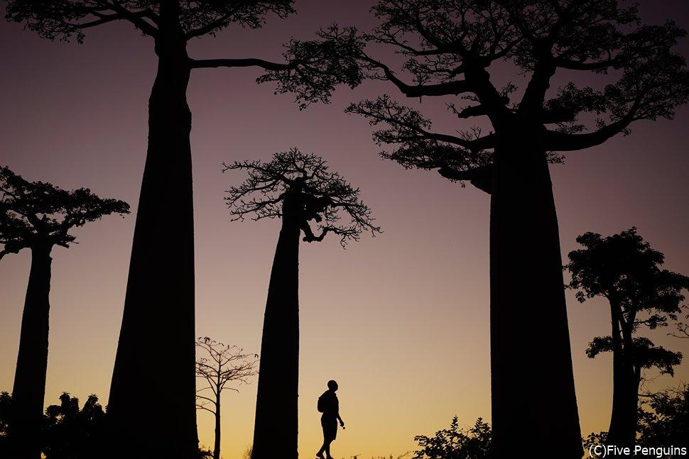 マダガスカルのバオバブは逃げません。またいつか会いに行きます。