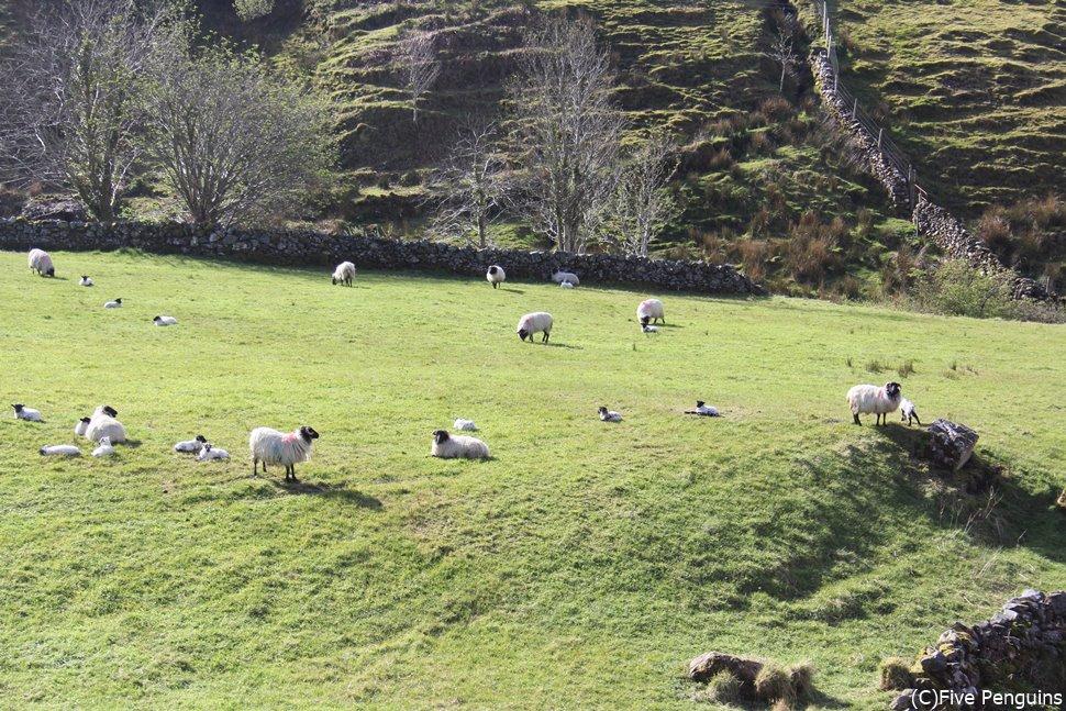 羊たちののんびりした時間