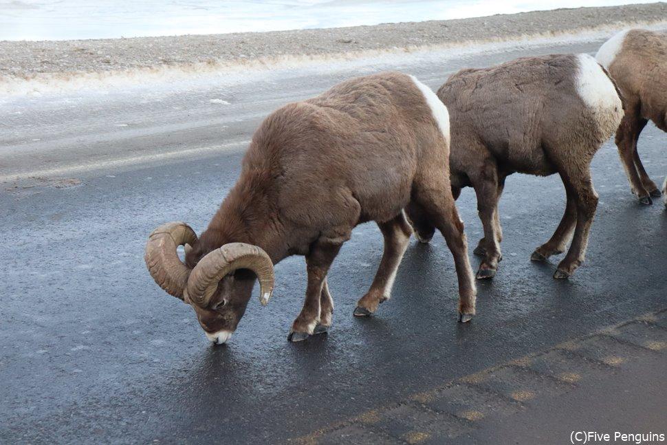 ジャスパー国立公園 ビッグホーンシープ