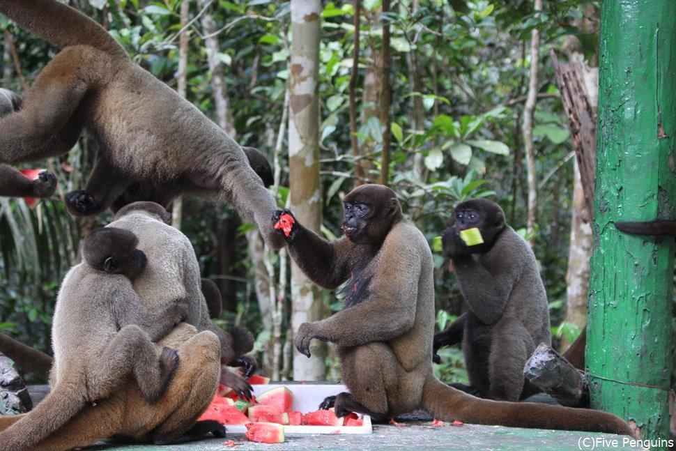 アマゾン・エコパークロッジ、猿の森の皆さん。毛の密度がすごい。