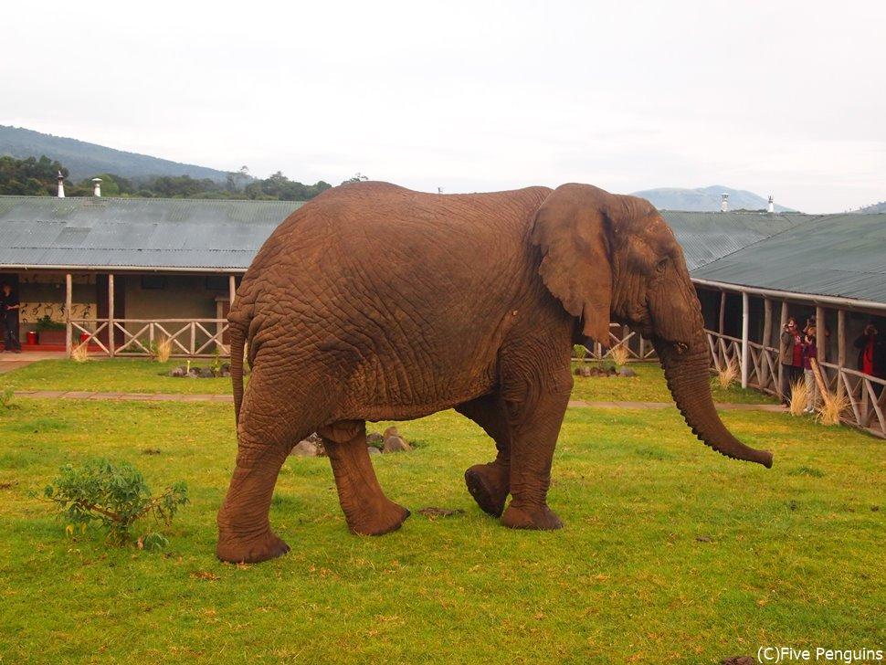 象がホテルの中庭に現れました(ンゴロンゴロ動物保護区)