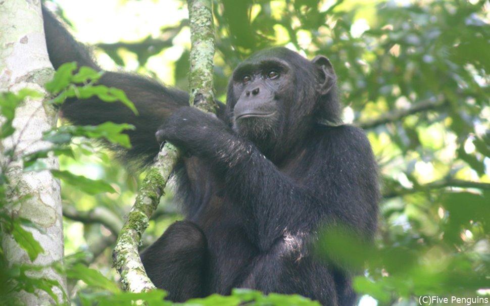 トレッキング中、木の上で凛々しい顔のチンパンジー を見っけ!<キバレ国立公園>