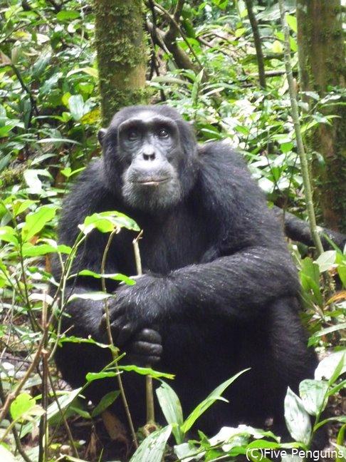 まるで電車内に一緒にいるくらいの距離間で目線が合うチンパンジー