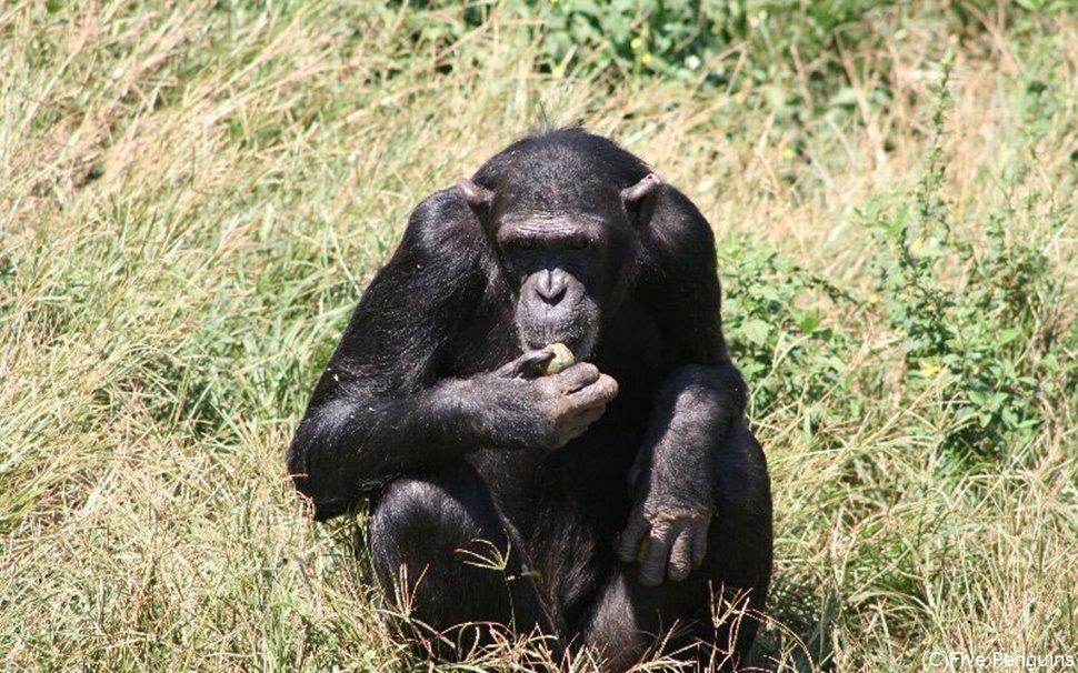 ンガンバ島の チンパンジー保護区<ンガンバ島>