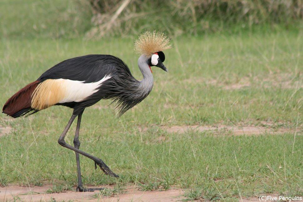 カンムリヅルは名にふさわしい凛々しい姿の鳥です