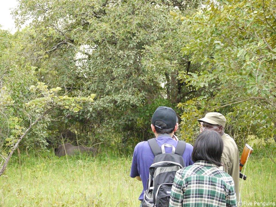 こんな風にブッシュを歩いてシロサイに近づく<ジワ・サイの保護区>