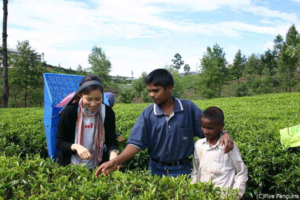 紅茶の茶摘み体験も思い出に残る面白体験。