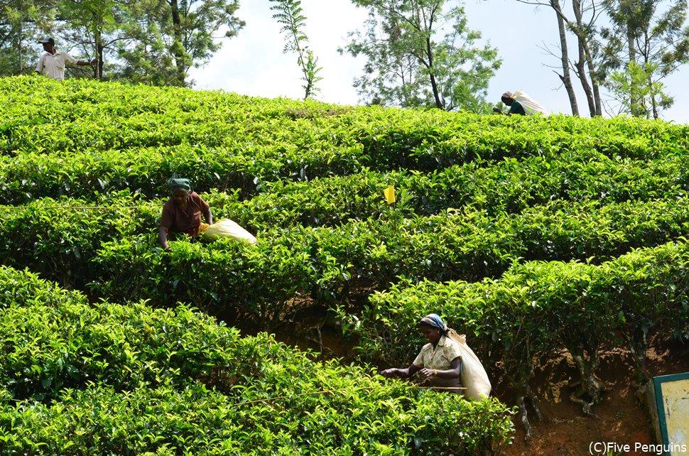 ヌワラエリアの紅茶畑。ここで最高品質のセイロンティーが産まれるのです。