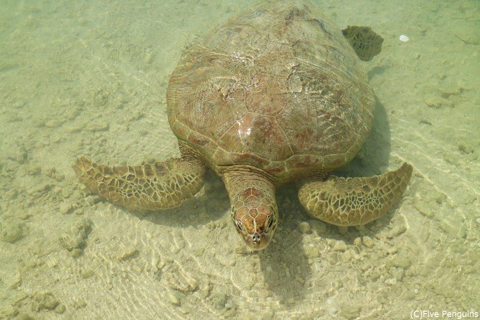 ウミガメと触れ合えるNAIWE BEACH