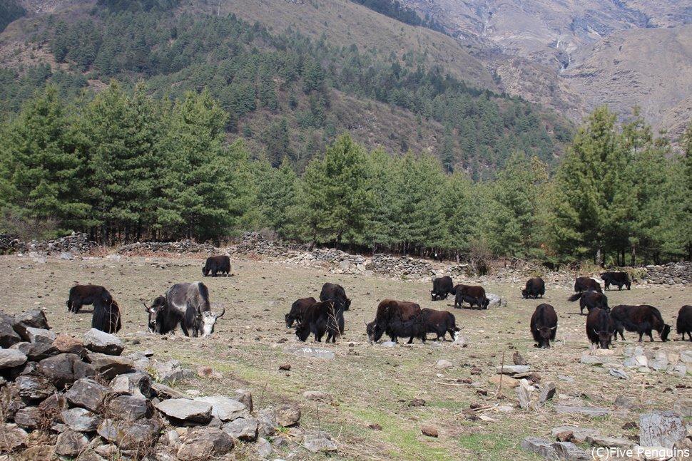 ハイキングの道中にヤクの群れに遭遇