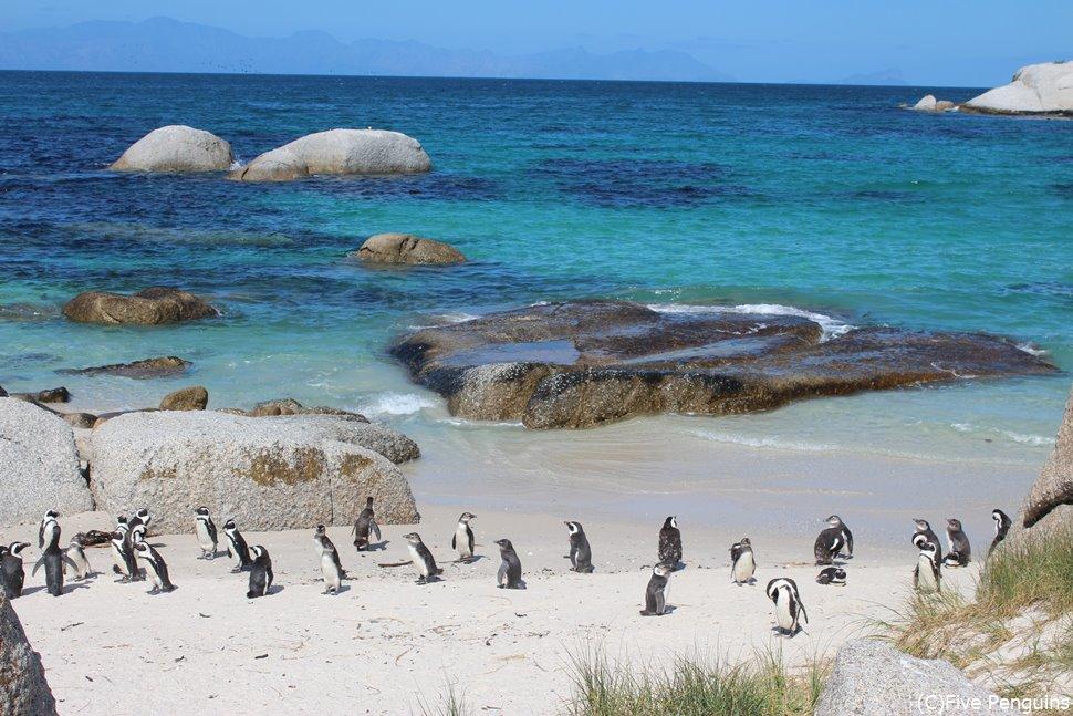 続々と海からペンギンが陸にあがってきます