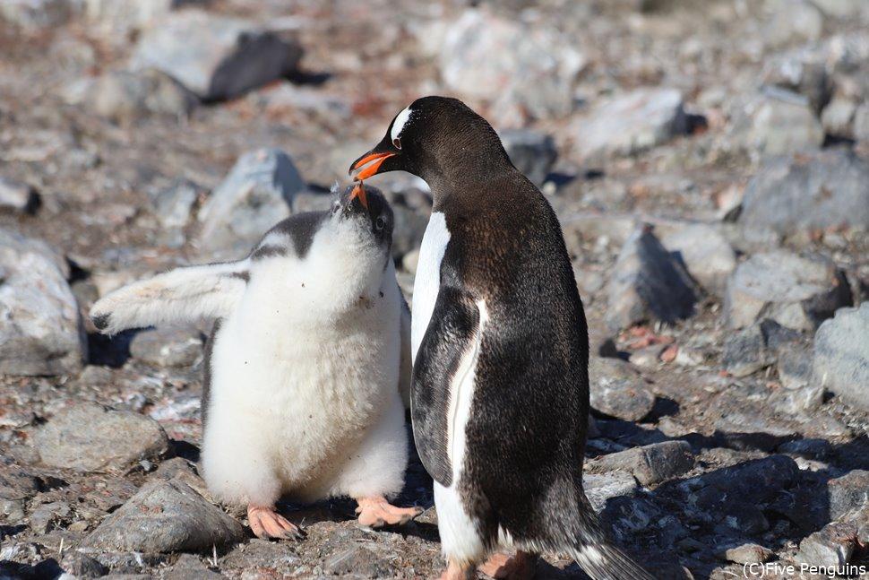 赤ちゃんに餌をやるジェンツーペンギンのお母さん