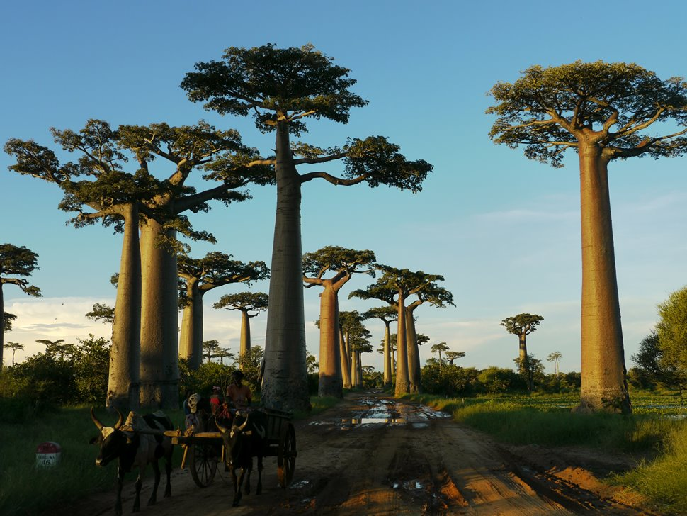 バオバブの並木道